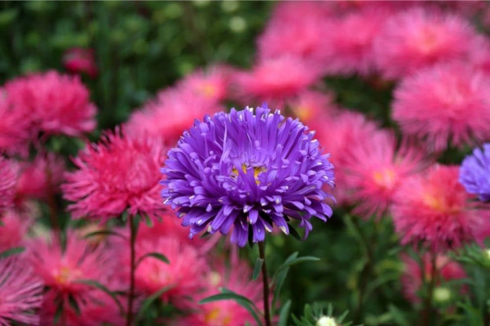 Chrysanthemum Flower Meaning and Symbolism