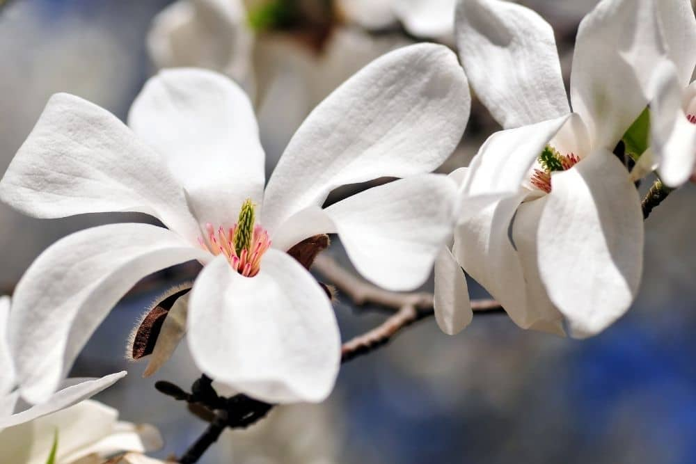 Magnolia Flower Meaning and Symbolism of All Colors