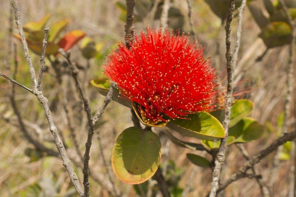 Ohia Lehua Flowers