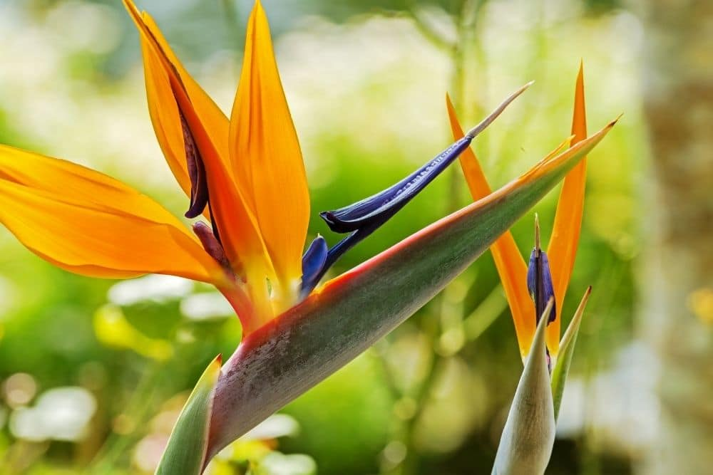 Top Flowers of Hawaii and their meanings